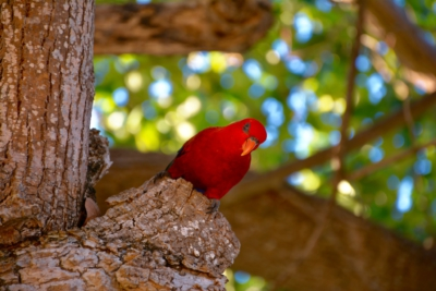 Papagei - Insel Bandos