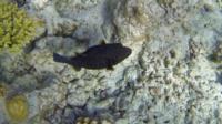 Kofferfisch schwarz