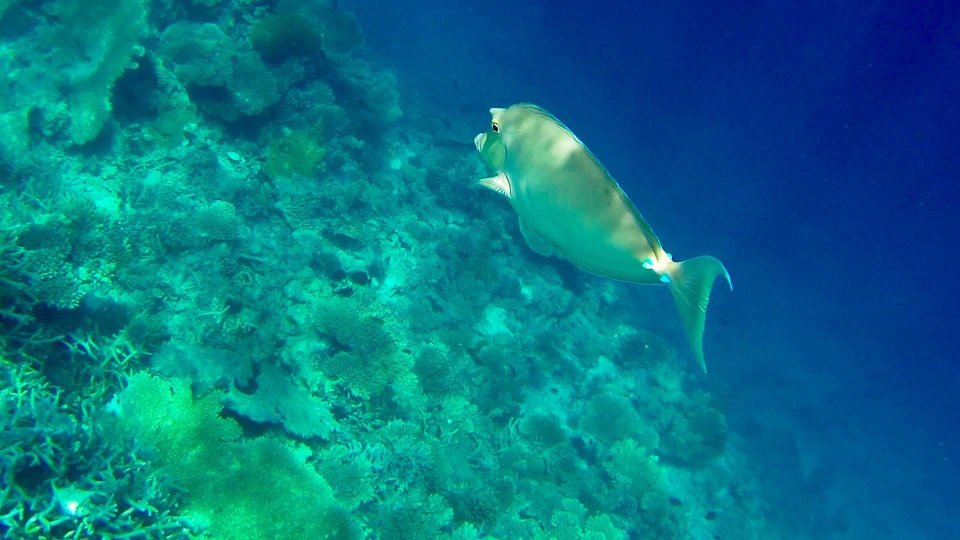 Nashornfisch