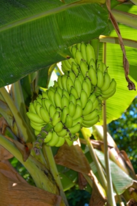 Bananenstaude - La Digue