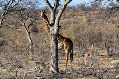 Balule - Giraffen