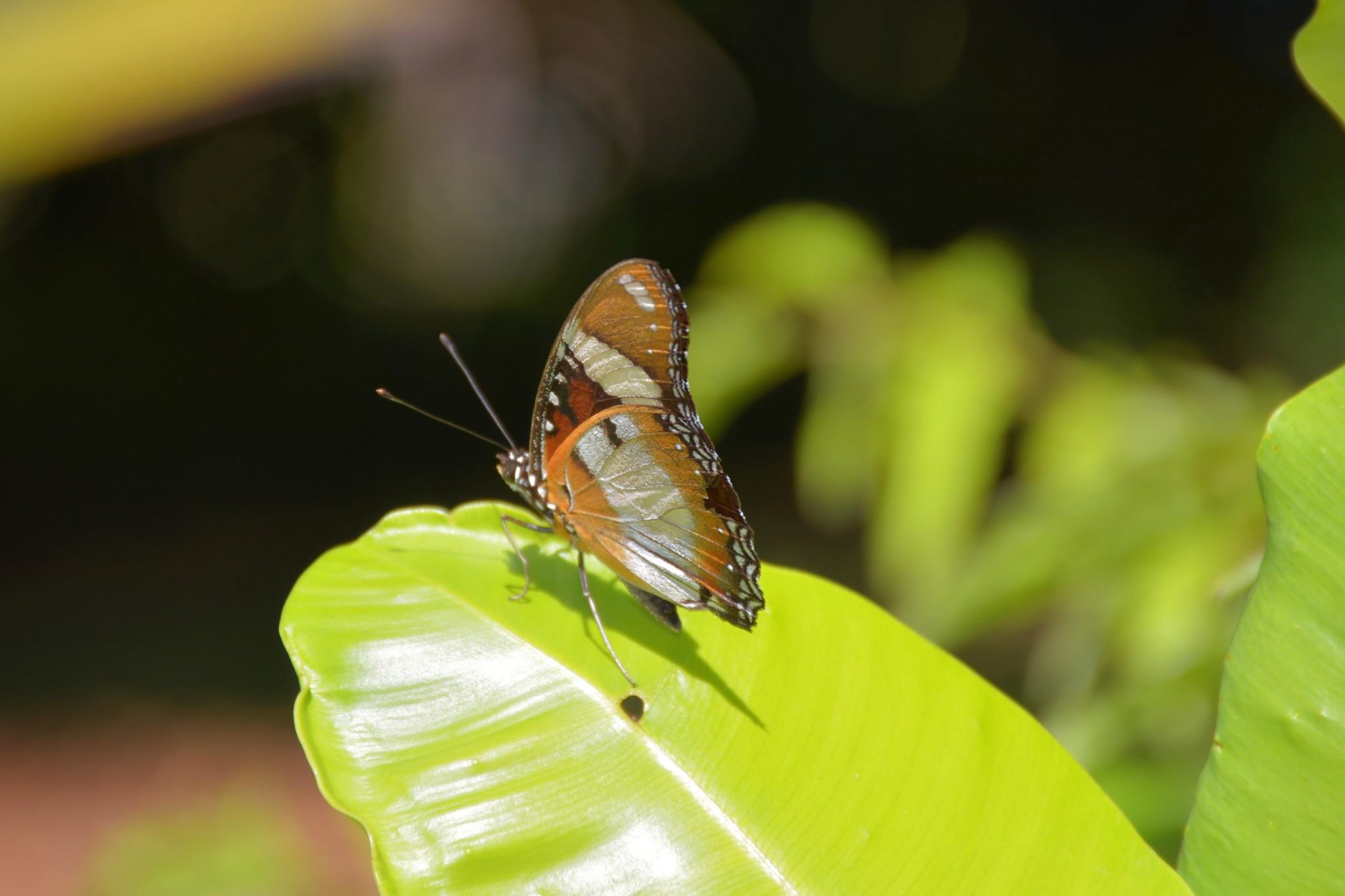 Schmetterling auf einem Blatt - La Digue