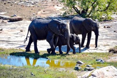 Kruger Nat. Park - Elefanten