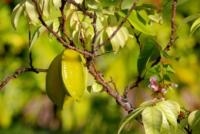 Karambole (Sternfrucht) - La Digue