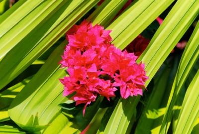 Pflanze - La Digue