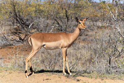 Kruger Nat. Park - Impala