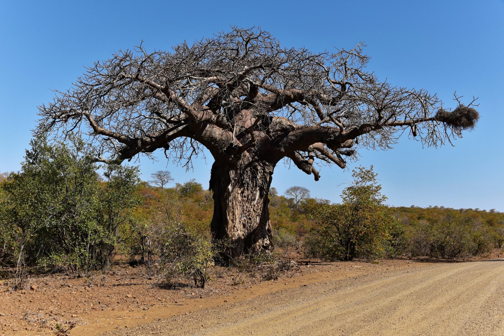 Kruger Nat. Park - Baobab Baum