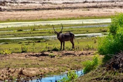 Kruger Nat. Park - Wasserbock