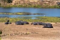 Kruger Nat. Park - Nilpferde