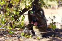 Kruger Nat. Park - Tchakma Pavian
