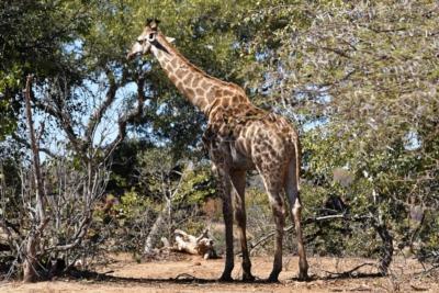 Kruger Nat. Park - Giraffe