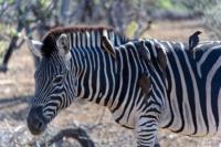 Kruger Nat. Park - Zebra