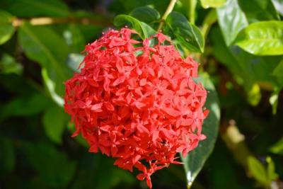 Rote Blüte mit Tautropfen - Mahe