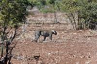 Kruger Nat. Park - Leopard