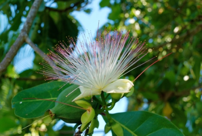 Fischgiftbaum (Putatbaum) - Mahe
