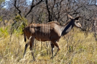 Kruger Nat. Park - Kudu