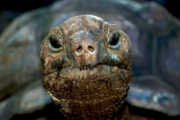 Riesenschildkröte - Mahe