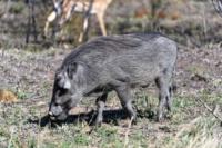 Kruger Nat. Park - Warzenschwein