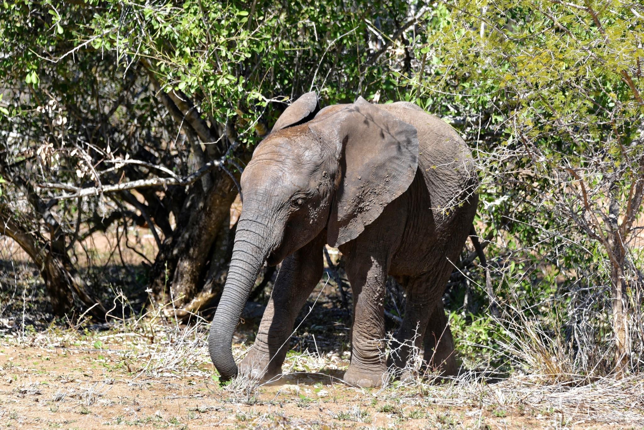 Kruger Nat. Park - Elefant