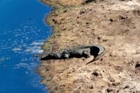 Kruger Nat. Park - Krokodil