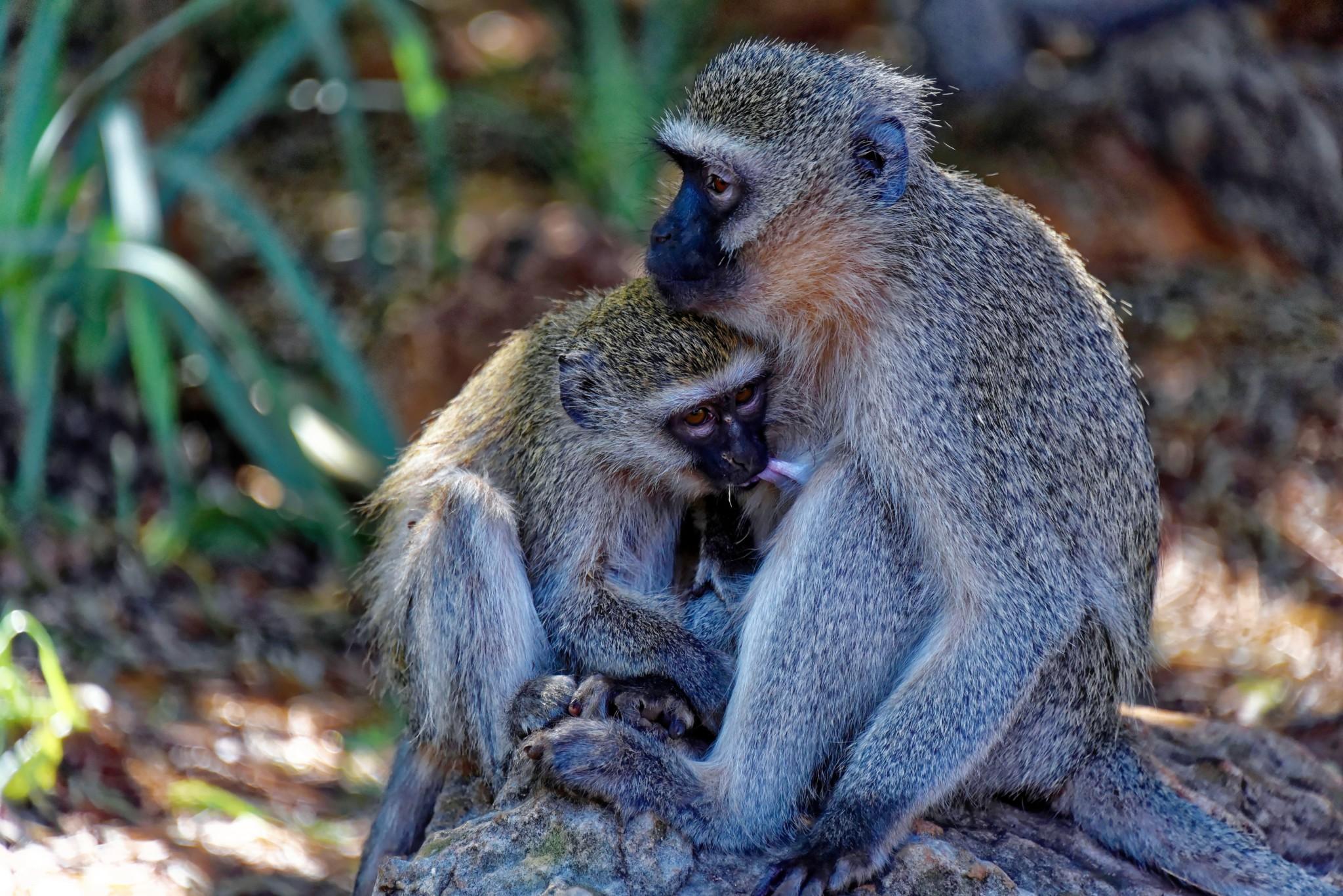 Kruger Nat. Park - Grünmeerkatze