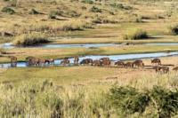 Crocodile River - Büffelherde