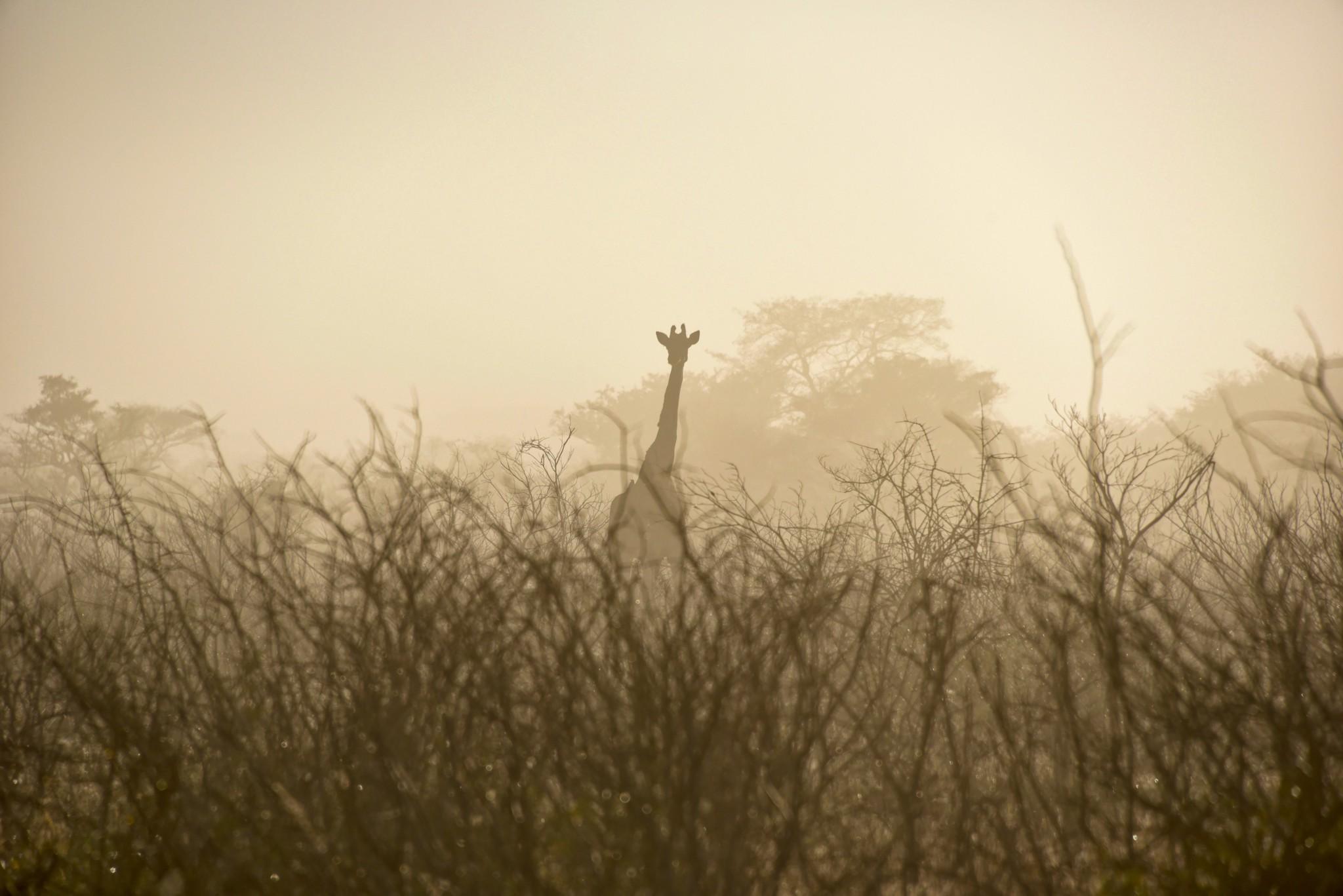 Tembe Elephant Park - Giraffe