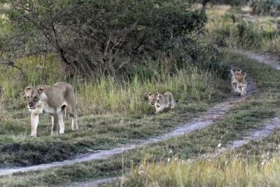 Tembe Elephant Park - Löwen