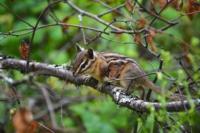 Squirrel - Paul Lake Provincial Park - Kamloops