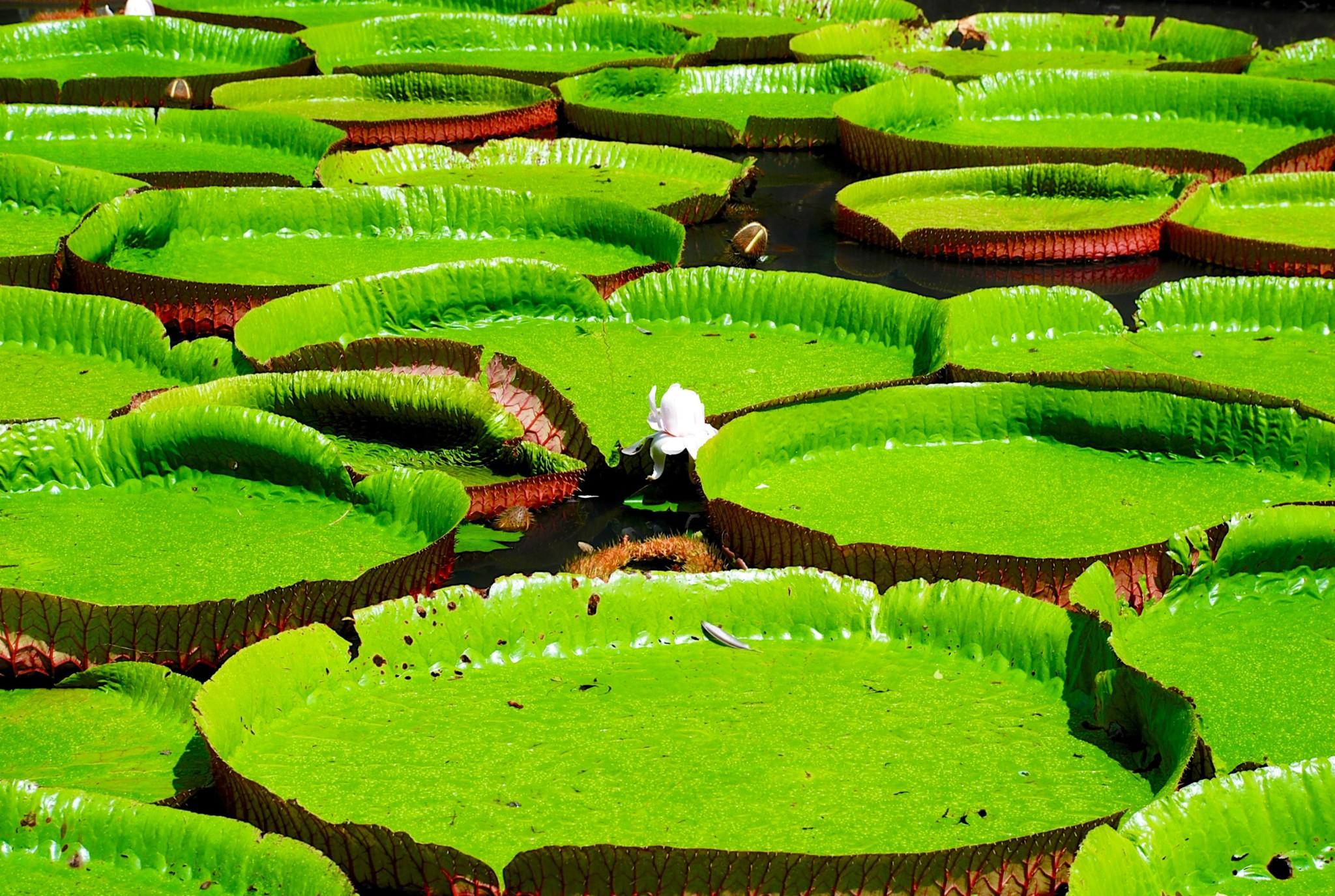 Botanischer Garten - Pamplemousses - Mauritius