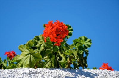Pflanze - Imerovigli - Santorin