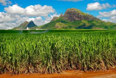 Zuckerrohr u. Berge - Mauritius