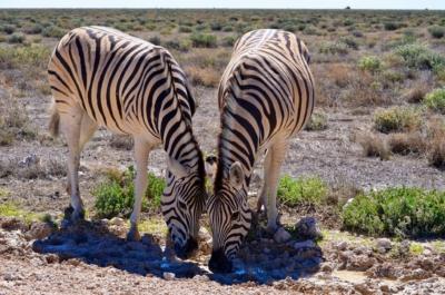 Steppenzebras - Etosha Nat. Park