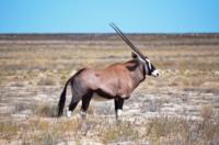 Oryx - Etosha Nat. Park
