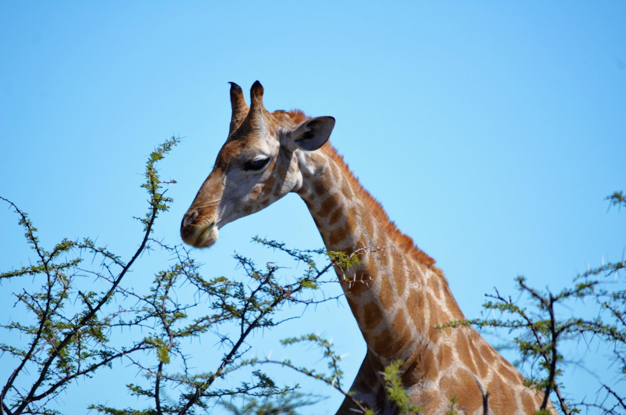 Giraffe - Etosha Nat. Park