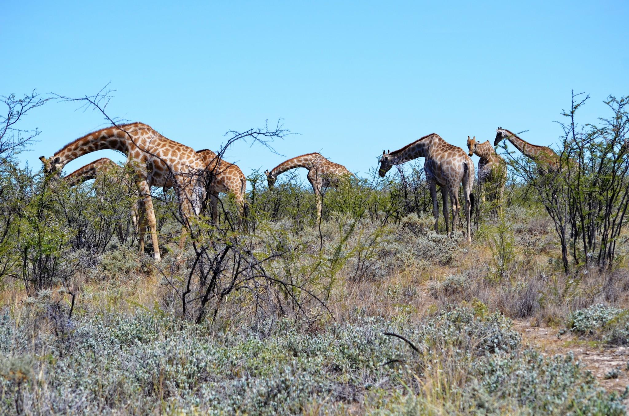 Giraffen - Etosha Nat. Park