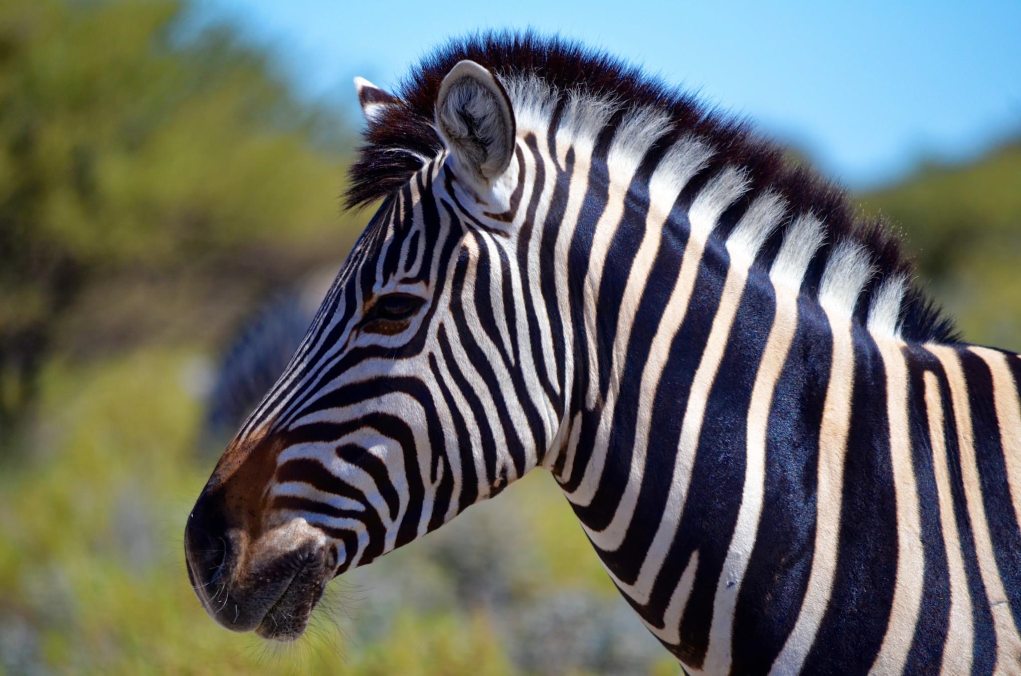 Steppenzebra - Etosha Nationalpark