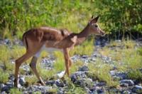 Schwarzgesichtimpala - Etosha Nationalpark