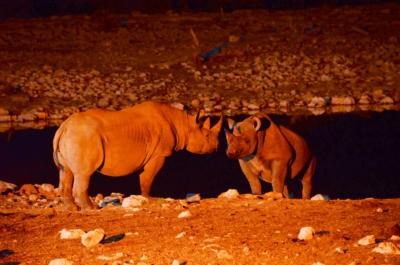 Spitzmaul-Nashörner am Wasserloch - Etosha Nat. Park