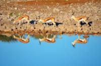 Springboecke am Wasserloch - Etosha Nat. Park