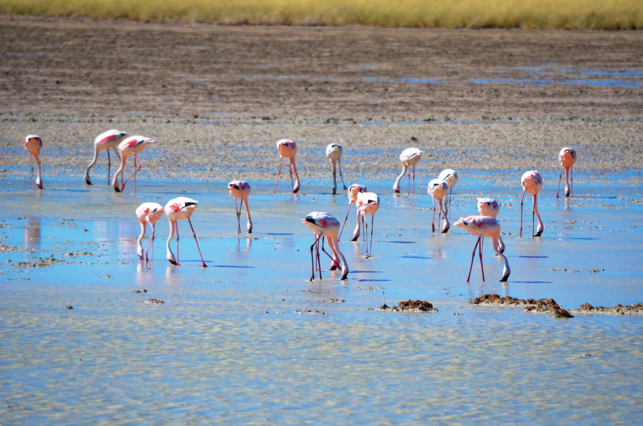 Flamingos - Etosha Nat. Park