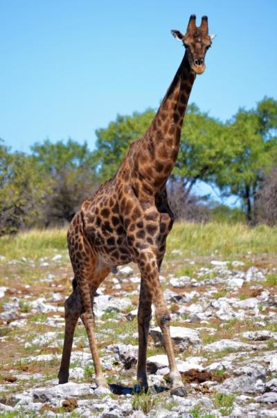 Giraffe - Etosha Nationalpark