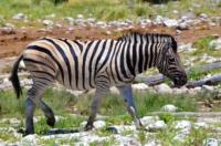 Zebra - Etosha Nationalpark