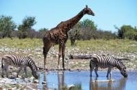 Steppenzebras u. Giraffe - Etosha Nationalpark
