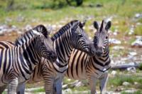 Steppenzebras - Etosha Nationalpark
