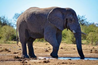 Elefant - Etosha Nationalpark