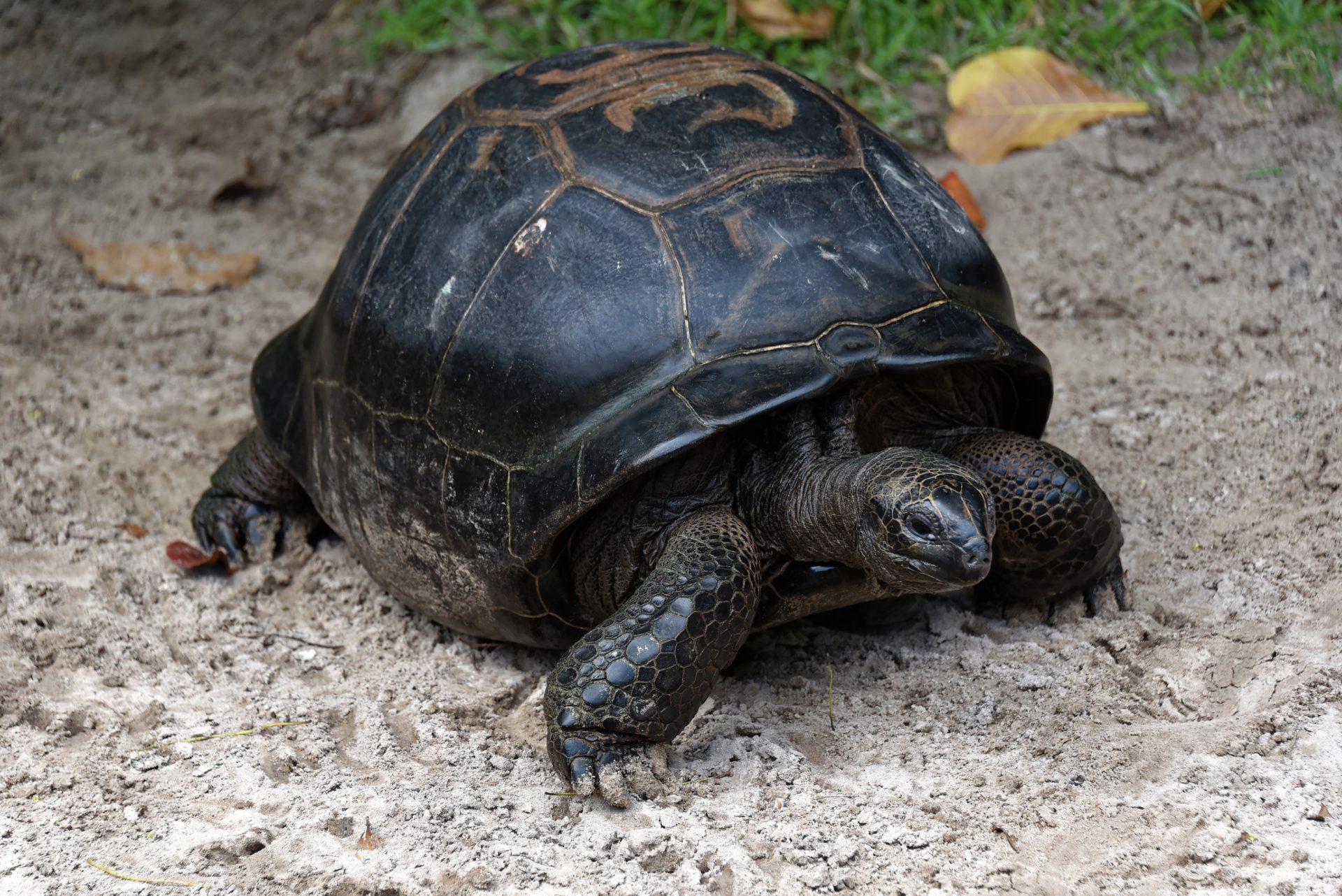 Riesenschildkröte - Petite Anse - Mahe