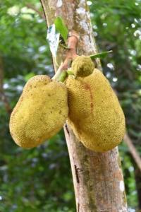 Jackfruit - Jardin Du Roi - Mahe