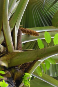 Männliche Coco de Mer - Botanical Gardens - Mahe