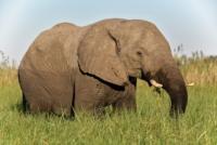 Elefant - Moremi Crossing - Okavango Delta - Botswana